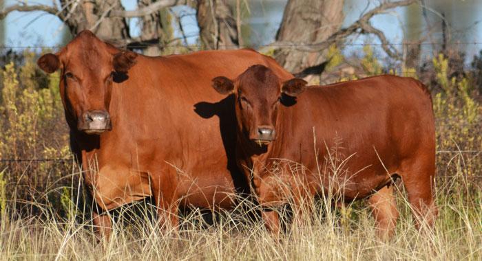 Tuli-cattle