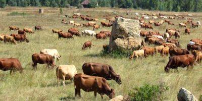 Tuli Cattle